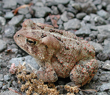 Subadult Am Toad
