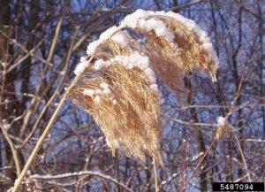 Phragmites plume in snow