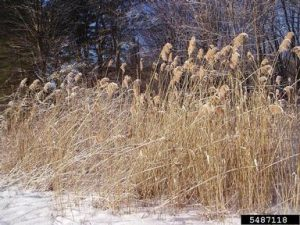 Phragmites stand in winter